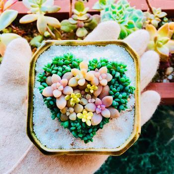 多肉植物はただ飾るだけでなく、ストーリー性のある箱庭に仕上げるとより愛着が湧いてきます。手に乗るサイズはもちろん、数種類の多肉植物とミニチュアフィギュアなどでオリジナルの箱庭をつくる事もできます。今回は自宅で簡単にできる箱庭作りをご紹介します。