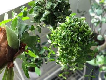 カップボードや食器棚のような背の高いインテリアもある場所なので、高い位置からツル系植物を垂らしたり、ハンギングして見せる方法もありますよ。