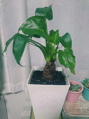 成長が早いクワズイモは、育て方によっては葉っぱが人の顔くらいの大きさになることも。成長が早い分、根詰まりも起こしやすいので2年に1度くらいのペースで植え替えをするといいでしょう。高温多湿を好むので、葉水を与えるとよく成長します。 耐陰性もあるため、室内の日光が入る場所ならどこに置いても大丈夫。エアコンなどの風が直接当たると葉が傷んでしまうので、当たらないように気をつけましょう。