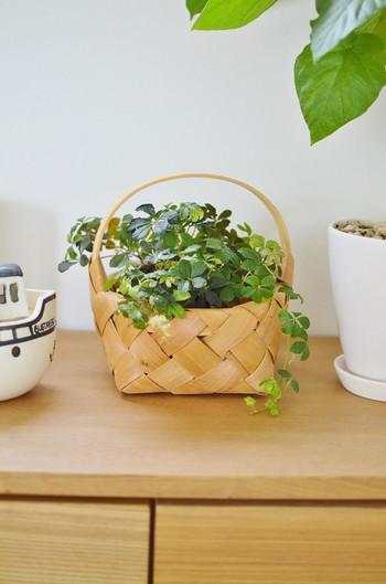 お花のような形の葉っぱがかわいらしいシュガーバインは、リビングの日当たりのよい棚の上などに置くのがおすすめ。気候のいい時、たまに外の明るい日陰に出してリフレッシュさせてあげると、元気に育ちます。水やりは土が乾いたらたっぷりと与え、夏場には葉水で乾燥を防ぐことも大切です。