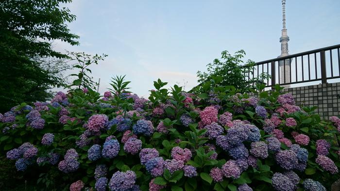 古くから桜の名所として知られている隅田公園には、吾妻橋入り口から山谷堀広場までの約2キロメートルにわたり「あじさいロード」あります。