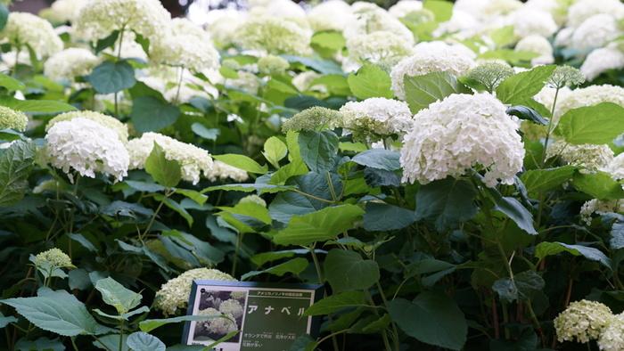 あじさいロードには、約1万株のアジサイが植栽されており、梅雨の隅田川に彩りを与えています。