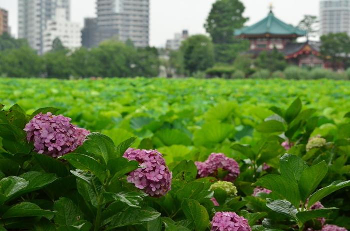 「上野公園」の通称で親しまれている上野恩賜公園は、約53万平方もの敷地を誇る都市公園です。都会にあるオアシスのような佇まいをした上野恩賜公園では、毎年6月下旬頃になるとアジサイが見頃を迎えます。