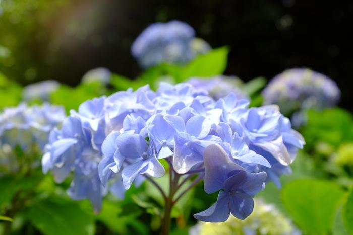 毎年6月初旬から下旬にかけては、アジサイが見頃を迎え、梅雨ならではの美しい風景へと変貌します。