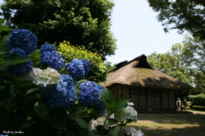 鮮やかに咲き誇るあじさいの花々は、古民家風の茅葺屋根建物が醸し出す、のどかで懐かしい雰囲気に華を添えています。