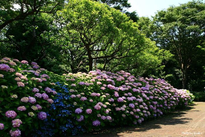 豊かな自然を抱いた森の中に、歴史的建造物が点在する府中郷土の森博物館では、約30品種10000株のアジサイが植栽されています。