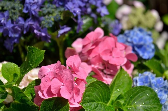 約4,500種類、10万本もの植物が植えられている公園内には、約1200株のアジサイが植栽されています。