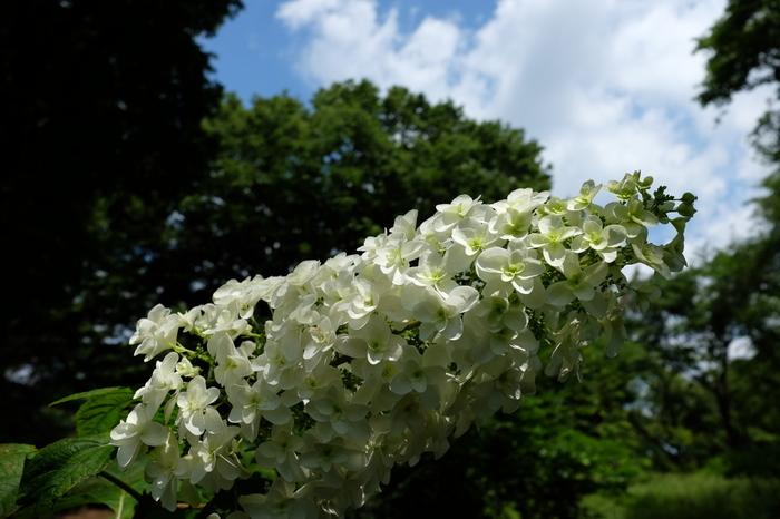 様々な品種のアジサイが植栽されている神代植物公園には、円錐形状に花を咲かせる珍しい品種、カシワバアジサイが植えられています。満開に咲き誇る様々なアジサイは、武蔵野の面影が残る豊かな自然に囲まれた神代植物公園の魅力を引き立てています。
