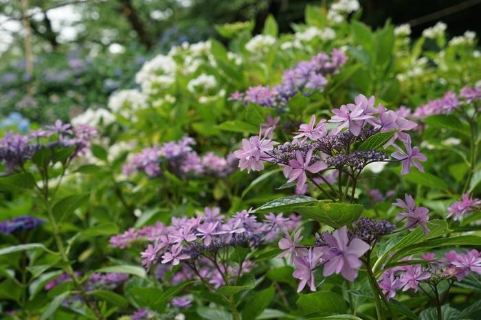 高幡不動尊金剛寺では、毎年6月から7月頃にかけて「あじさいまつり」が開催されます。赤、白、青、紫など可憐な花を咲かせる美しいアジサイは、格好の被写体です。