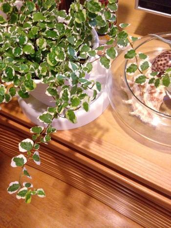 小さな葉っぱに白い模様が入ったフィカス・プミラは、明るい雰囲気にしてくれます。耐陰性があるので、トイレや洗面所に置いても大丈夫ですが、たまに日光浴させてあげると健康に育ちます。初心者さんにも育てやすい品種ですよ♪