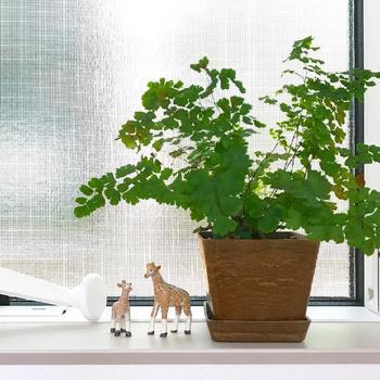 薄くて細かい葉っぱが特徴的なアジアンタム。サワサワとゆれる様子が涼しげな雰囲気を演出してくれます。日陰や薄暗い場所でもよく育ち、多湿を好むのでトイレや洗面所といった水回りで育てるのに向いています。乾燥に弱いので、水やりを忘れないようにすることが大切です。