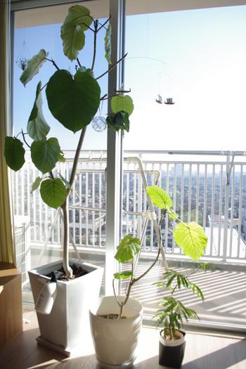 観葉植物に欠かせないもの2つめは「光」です。植物によって、たくさんの日光が必要なものもあれば、日陰で育てるものもあります。インテリアに取り入れる場合は、それぞれのお部屋での光の当たり具合と植物の特性をマッチさせる必要があります。