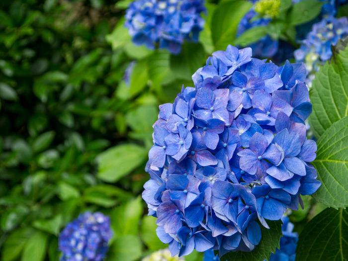 桜の名所として知られる六義園ですが、年間を通じて様々な花々が咲き、梅雨の時期になるとアジサイが見頃を迎えます。