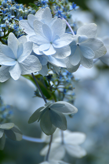 植栽されているアジサイの株数は約1000株と少なめですが、八重咲の花びらをした珍しいアジサイを観賞することができます。