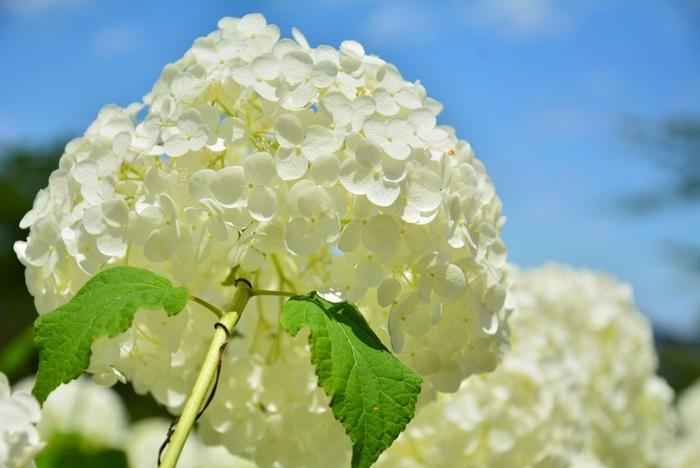 大輪の花を咲かせるアジサイの白さと、抜けるような青空のコントラストの美しさは傑出しています。