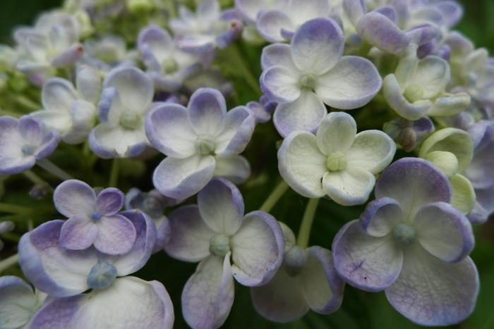 東京サマーランド敷地内にあるあじさい園では、60種類、約15000株が競うように花を咲かせています。少しずつ違う花びらの形や、色の違い見ながら、アジサイ鑑賞を楽しんでみてはいかがでしょうか。