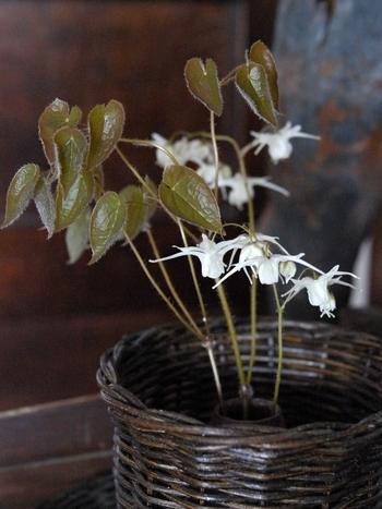 こちらは洋風の籐の鉢に植えた白花のイカリソウ。船の碇に似ていることからこの名前がついています。