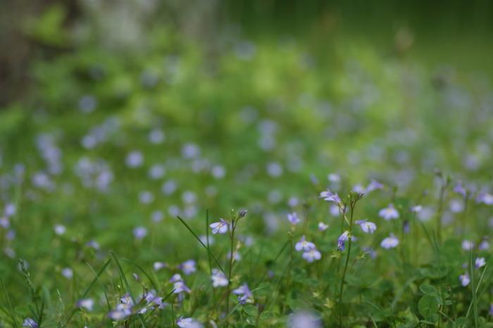 春を重ね、芽吹きを繰り返すうちに株がどんどん育っていくので「株分け」して増やす楽しみも。お庭で増やしていけば、我が家だけの「ミニ群生」が作れるかも。こちらは夏の花、ムラサキサギゴケの自然の群生です。