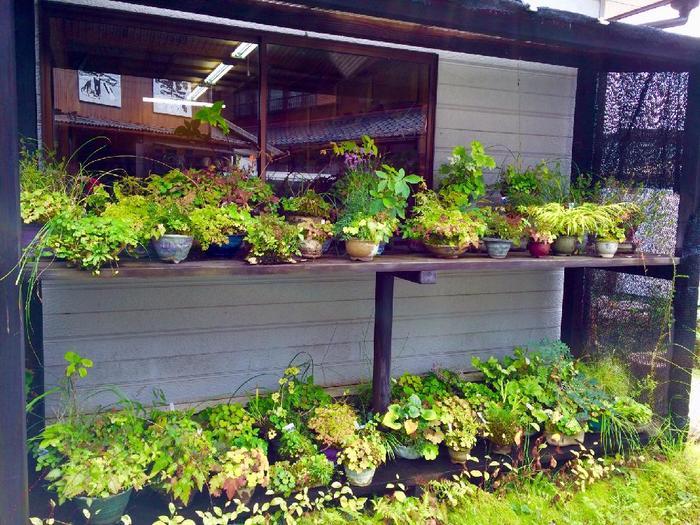 実際に苗を見て購入したい方は、山野草コーナーのあるガーデニングショップや種苗店へ。