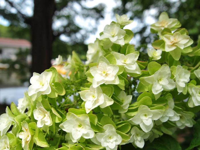公園内には、60種類を超えるアジサイが約9300株植栽されています。そのため、ここでは普段あまり見かけることができない珍しいアジサイの観賞を楽しむことができます。