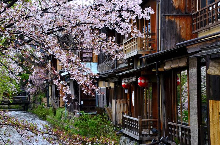 橋の上からは、桜×白川×町家の情緒たっぷりの景色が楽しめます。ゆっくりと流れる白川の上に落ちた花びらや桜と並ぶ柳も、また美しい。