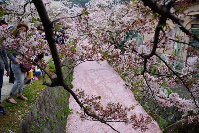 さらにタイミングが良ければ、疎水の一面が桜の絨毯に!水面いっぱいの桜を眺めていると、改めて「日本人で良かったなぁ」と思うかもしれません♪