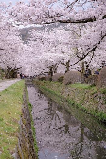 """疎水沿いの桜は、""""春爛漫""""ということばがぴったり。お散歩するにはちょうどいい距離ですが、特に桜の時期は混みあっているので、余裕をもったスケジュールでのんびり楽しんでくださいね。道沿いには、おしゃれなカフェや人気の甘味処もたくさんあるので、事前にチェックしておくのがおすすめです。"""