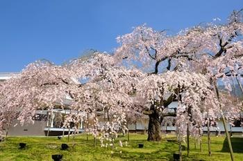 醍醐寺には、数種類の桜があり、三月末頃から3週間くらいをかけてそれぞれが満開を迎えます。中でも美しいのは、醍醐深雪(みゆき)桜と呼ばれる雄大なしだれ桜。この桜の前に立つと、枝を伸ばし支柱のある分、時代の流れを感じることができそう。