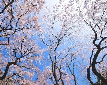 樹齢150年といわれる「太閤しだれ桜」も見逃せないひとつ。同じ桜を秀吉が見たかと思うと、なんだか不思議な気分ですよね。京都だからこそ味わえる景色です。