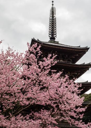 京都の桜というと市内中心部の桜をイメージしますが、ぜひ訪れたいのが中心部より南東の少し外れたところにある「醍醐寺」です。豊臣秀吉が贅を尽くした「醍醐の花見」を行った地として知られ、「花の醍醐」と呼ばれる所以。