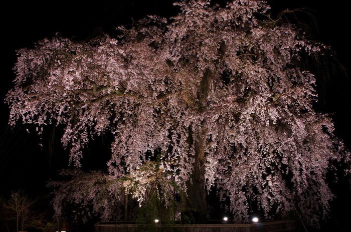 円山公園にある枝垂桜は「祇園枝垂桜」とも呼ばれ、その大きな枝に咲く桜は見上げるとまるで桜の川の様に。昼間はもちろんライトアップも観る価値あり!です。遅くまでライトアップされているので、お食事の後のお散歩に訪れてみてはいかがでしょうか。