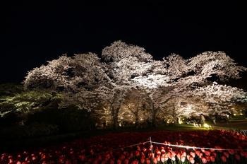 京都と言うと歴史的な場所ばかりが注目されますが、京都府立植物園の約130品種約450本の桜のライトアップは壮観。花の都で開園90年の歴史を持つこの植物園の桜の世界は、正に惚れ惚れするような風景です。三月中旬から四月末頃までと、桜を楽しめる期間が長いのも嬉しいですね。