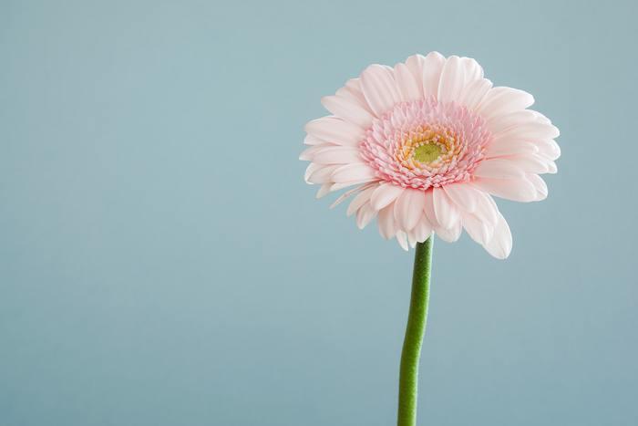 スッと伸びた茎に大きな花を咲かせる愛らしいガーベラ。大きさや色味などたくさんの種類があります。