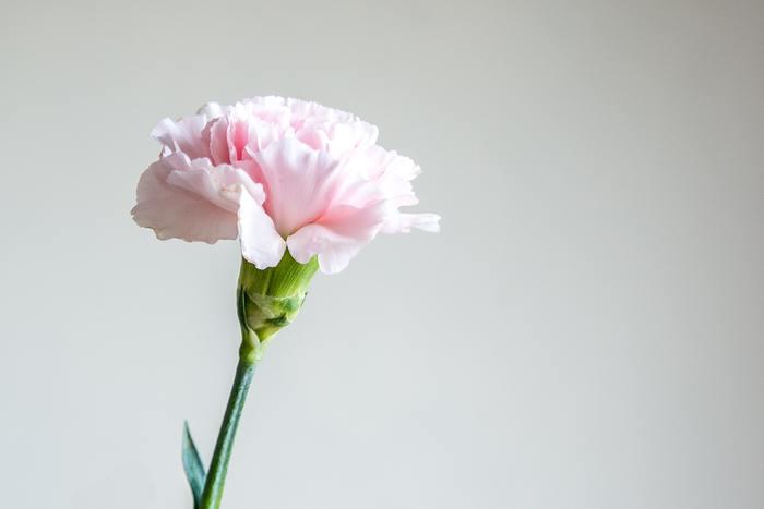 母の日のイメージが強いカーネーションですが、通年で出回る上に色や花の種類も様々で、品種改良により花持ちの良い品種も出ています。