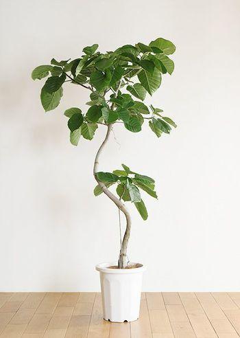大きなハート型の葉っぱと曲がった樹形が人気の植物で、さまざまなインテリアにマッチします。日当たりのよい場所を好むため、カーテン越しの窓際などが最適。寒さに弱いため、冬場は室内の温かい所に置くようにしましょう。葉に害虫がつきやすいので、一年を通して霧吹きなどで葉水を与えてください。