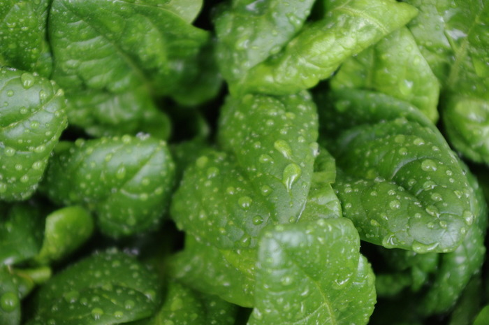 緑黄色野菜でよく知られるほうれん草は、β-カロテンやビタミンCなどを豊富に含むことで知られていますよね。注目の栄養素としてよくピックアップされるのは、鉄。鉄分不足を感じる時にもおすすめです。一方、独特な味わいなので、好き嫌いが分かれるお野菜でもあります。日ごろの献立からつい外してしまっているという方もぜひ作ってみてください!
