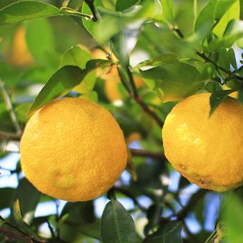 柚子は愛媛の瀬戸内海産。暖かな日差しを浴びて育った柚子は、繊細な香りが特徴。