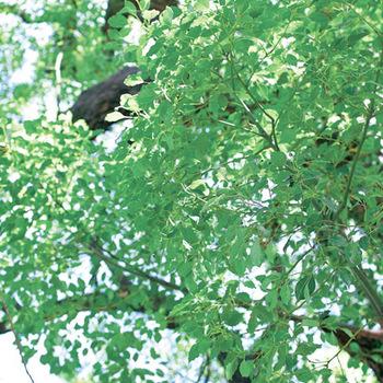 原材料となっているのは、佐賀県産のクスノキ。古くから樟脳などとして、虫よけの木として人々に用いられてきました。