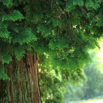 吉野のヒノキはブランド木として、ヒノキの中でも別格の位置づけ。山深い地域で丁寧に手入れされて育てられました。