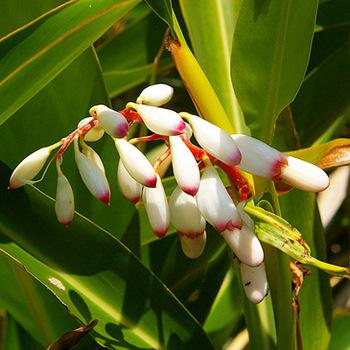 沖縄県産の月桃はショウガ科の植物。甘さとスパイシーさを秘めた香りです。