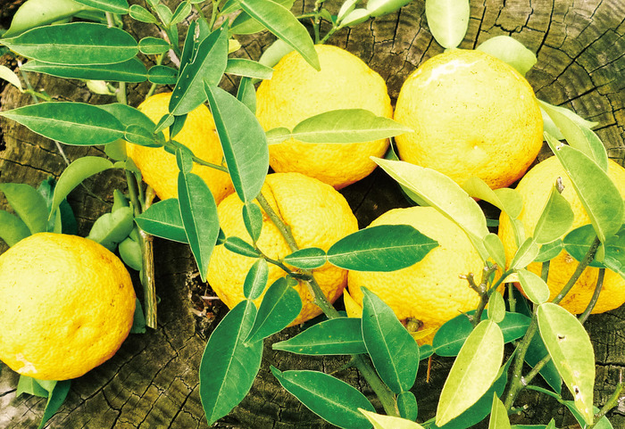 原料となっているのは吉野のヒノキや愛媛の柚子など、日本各地の植物たち。小規模ながらも各地域で丁寧に育てられ、古くから人々に愛されてきました。