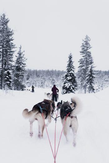 犬ぞりを体験できる「ハスキー犬ツアー」。特にフィンランド北部のラップランドで開催されることが多いので、旅行会社などに問合せをしてみて。サファリガイドがそりの操縦法を教えてくれるので、初めての人でも大丈夫。力強く健気に人間を引っ張ってくれる彼らの後ろ姿は愛おしくてたまりません。
