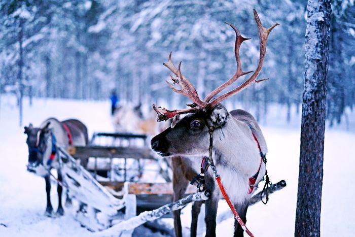 観光客向けに、トナカイぞりツアーが開催されています。本物のトナカイのお鼻は赤くありませんが、近くで見ると大きくて迫力満点! サンタさんの気分になって、雪原を走り抜けてみてはいかが?