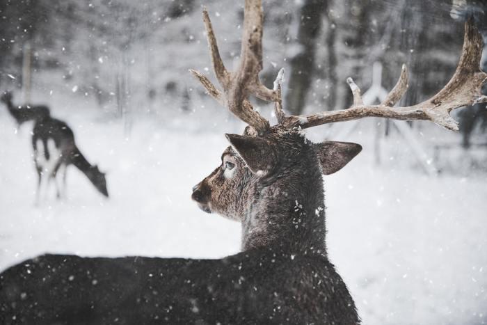 ラップランドを象徴する動物、トナカイ。なんと、住人の数とトナカイの数はほぼ同じなのだそう。 日本では、クリスマスイブにサンタさんを運ぶファンタジックなイメージが強いけれど、ラップランドの人にとって、トナカイ重要な移動手段を担う、生活に欠かせない存在です。
