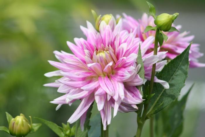 ダリアは4月~5月ころが植え付けの適期。鉢での生育も可能ですが地植えの方が育てやすいそう。 様々な品種があり花の姿や色味も様々。大きな花が多いので、飾って見応えのある花です。 関東以南では越冬も可能。地上部が枯れたら根を地中に残して切り、地面が凍らないよう盛り土をします。