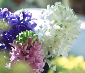 ヒヤシンスの水耕栽培を小学校時代に経験した人も多いのでは?。球根から覗く鮮やかな緑色の芽が1日ごとに膨らむ様子は楽しいし、花が次々と咲く様は華やかです。水耕栽培が有名で、キットや専用の容器なども多数販売されていますが、もちろん地面に植え付けてもよく育ちます。
