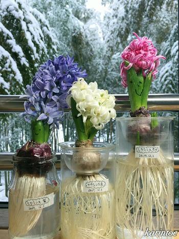 水耕栽培の場合、最初は冷暗所で根っこが出る部分だけを水につけ芽出しを待ちます。思ったよりも勢いよく大量の根が出てくるので球根の中に眠っていたエネルギーを感じることができますよ。根は遮光したほうが発育が促進されるという意見もあります。 根が十分に伸びると徐々に芽が伸び、やがて花が顔を出してきます。もちろんその間頻繁に水換えすることをお忘れなく。