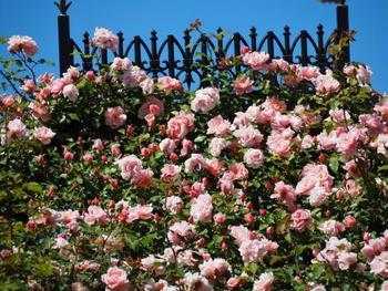 イングリッシュガーデンと言えばバラ、と言われるくらい人気の花。アーチやオベリスクに絡ませた立体的な仕立ても人気です。様々な園芸品種が販売されていますので、色・香り・大きさや花の形などお気に入りを探して育てる楽しさもあります。バラの品種は、大きくオールドローズ(古代バラ)とモダンローズ(現代バラ)に分類されます。