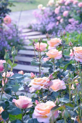 大輪のバラが乱れ咲く小道はロマンチック。シルクのような滑らかな花弁を飾る朝露にうっとりします。