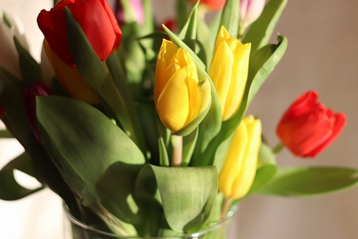開花時期は3月下旬から5月にかけて。東京での開花は4月ごろで、お花屋さんでも豊富に流通しています。5月に入るとお花屋さんでは初夏のお花が並び始め、チューリップはあまり見かけなくなります。